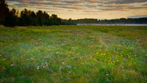 The meadow biotope of Malmi Airport is nowadays a rare and diverse nature paradise that is of great importance to the people living in northeastern Helsinki. Photo: Petri Asikainen (18 September 2016)